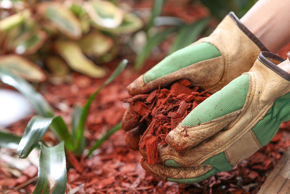 Health garden with red cear woodchip mulch. Garden maintenence in Spring. Gardening gloves